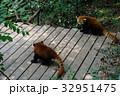 中国 四川 パンダ基地 レッサーパンダ 32951475