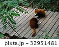 中国 四川 パンダ基地 レッサーパンダ 32951481