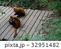 中国 四川 パンダ基地 レッサーパンダ 32951482