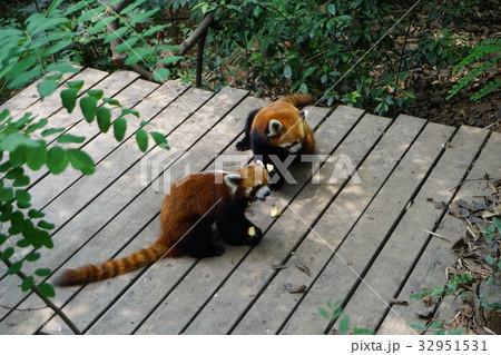 中国 四川 パンダ基地 レッサーパンダ 32951531