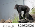 チンパンジー 動物園 動物の写真 32952520