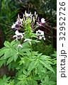 クレオメ セイヨウフウチョウソウ 紫色の写真 32952726