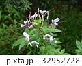 クレオメ セイヨウフウチョウソウ 紫色の写真 32952728