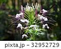 クレオメ 西洋風蝶草 花の写真 32952729