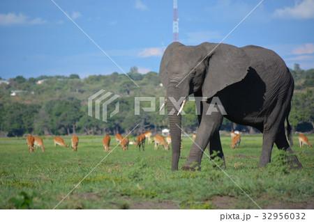 ボツワナ共和国、チョベ国立公園 歩くゾウと草原とレッドリーチェウ 32956032