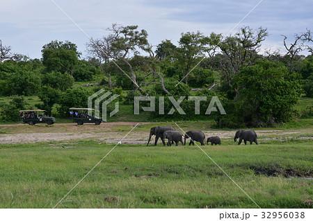 ボツワナ共和国、チョベ国立公園 一列で歩くゾウの一家 32956038