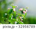 草花 花 植物の写真 32956789