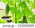 ゴーヤ ニガウリ ツルレイシ 32956809