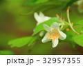 ツクバネウツギ 32957355