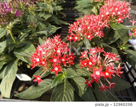 常緑低木ペンタスの赤い花 32960206