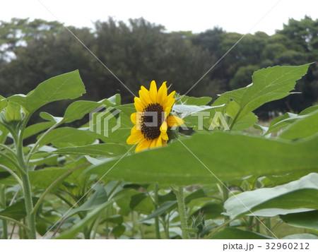 ヒマワリモネパレッドの黄色い花 32960212