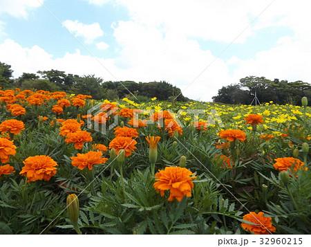 マリーゴールドのオレンジ色の花 32960215