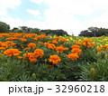 マリーゴールドのオレンジ色の花 32960218