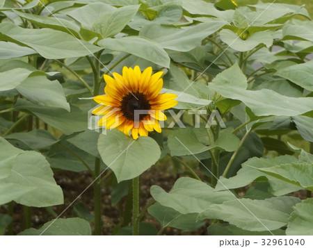色々な花の咲くヒマワリモネパレットの黄色い花 32961040