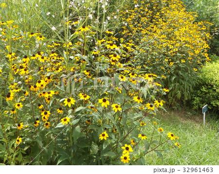 小さいヒマワリのようなルドベキアの黄色い花 32961463