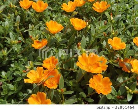 可愛いオレンジ色の花はポーチュラカの花 32961464