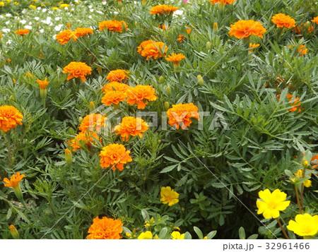 マリーゴールドのオレンジ色の花 32961466