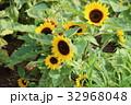 小夏 ミニヒマワリ ひまわりの写真 32968048