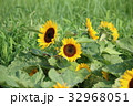 小夏 ミニヒマワリ ひまわりの写真 32968051