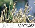 麦の穂 32975862