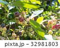 ブルーベリー 実 果物の写真 32981803