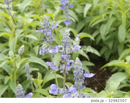 サルビアファリナセアの青い花 32982507