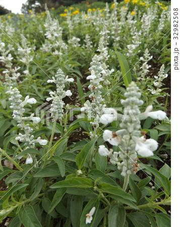 サルビアファリナセアの白い花 32982508
