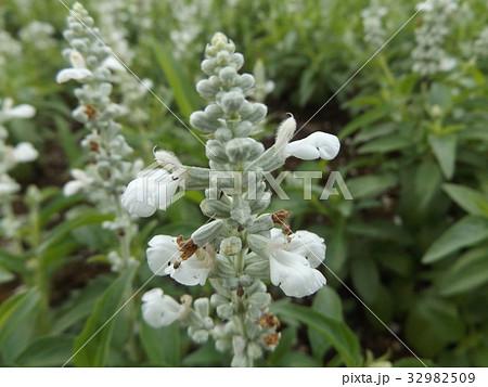 サルビアファリナセアの白い花 32982509