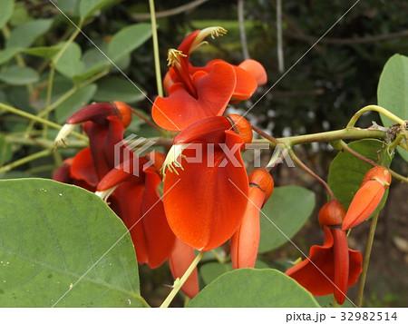 夏の花にぴったり。情熱の赤い花アメリカデイゴの花 32982514