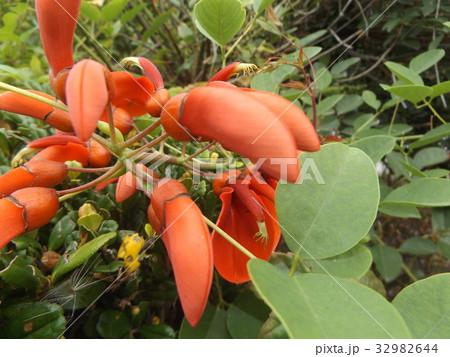 夏の花にぴったり。情熱の赤い花アメリカデイゴの花 32982644