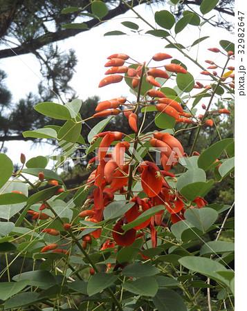 夏の花にぴったり。情熱の赤い花アメリカデイゴの花 32982647