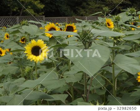 色々な花の咲くヒマワリモネパレットの黄色い花 32982650