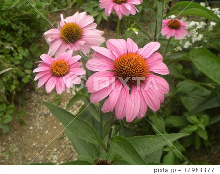 エキナセアの紫色の花 32983377