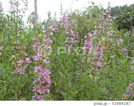 ミソハギの紫色の花 32984287