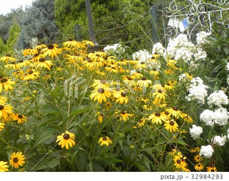 ヒマワリの小さい花のようなルドベキアの黄色い花 32984293
