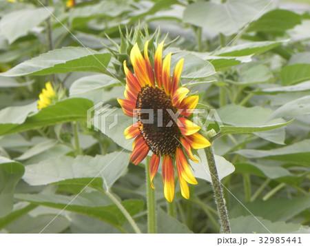 色々な花の咲くヒマワリモネパレットの黄色い花 32985441