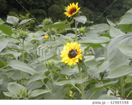 色々な花の咲くヒマワリモネパレットの黄色い花 32985598