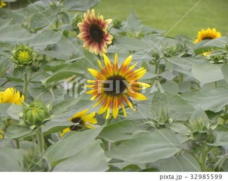 色々な花の咲くヒマワリモネパレットの黄色い花 32985599