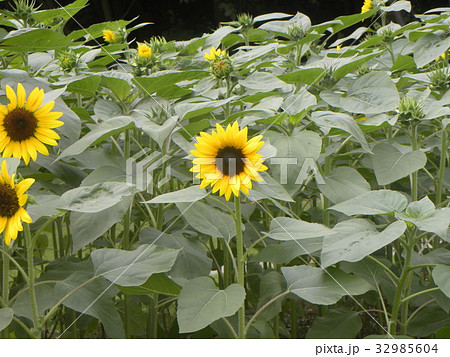 色々な花の咲くヒマワリモネパレットの黄色い花 32985604