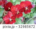 ビオラ スミレ科スミレ属 草花の写真 32985672