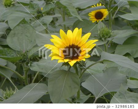 色々な花の咲くヒマワリモネパレットの黄色い花 32986185