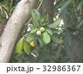 食料にもなる秋夏に赤く熟す未熟なヤマモモの実 32986367