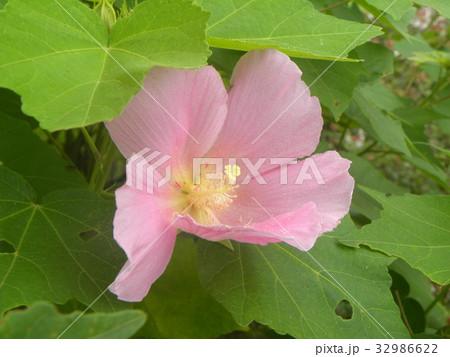 夏の花アメリカフヨウの桃色の花 32986622