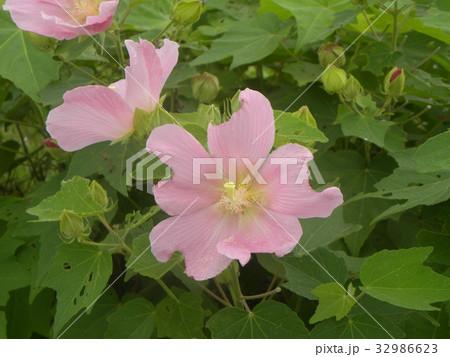 夏の花アメリカフヨウの桃色の花 32986623
