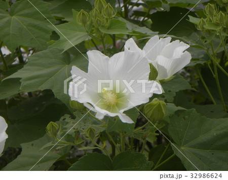 夏の花アメリカフヨウの白色の花 32986624