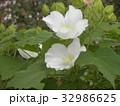 夏の花アメリカフヨウの白色の花 32986625