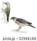鳥8 32988188