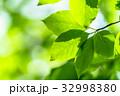 新緑 初夏 若葉の写真 32998380