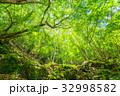 新緑 初夏 若葉の写真 32998582