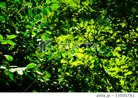 新緑の葉っぱ 33000781
